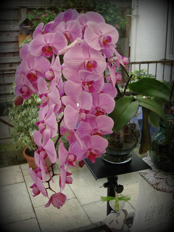 Orchidee-Phaleanopsis