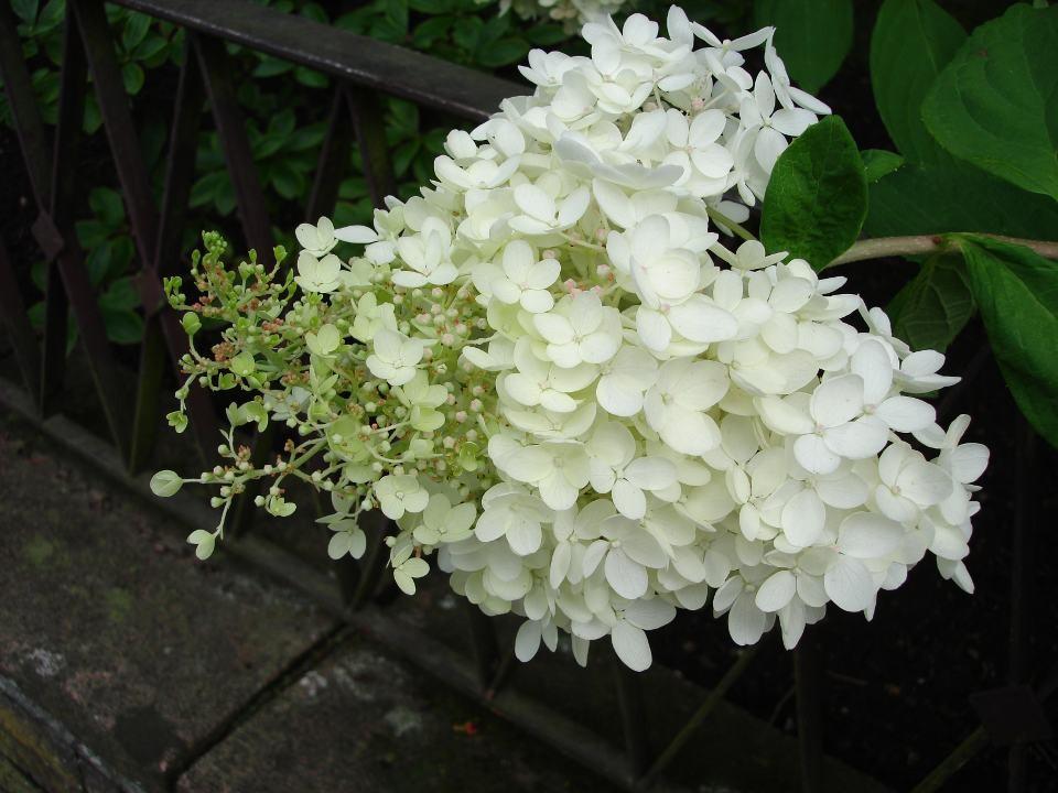 Limelight Hortensie