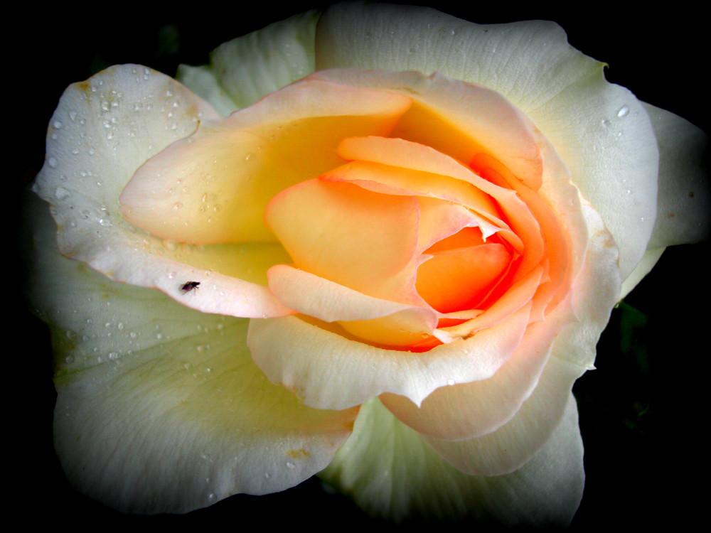 Rose Tschaikowsky Harmonie