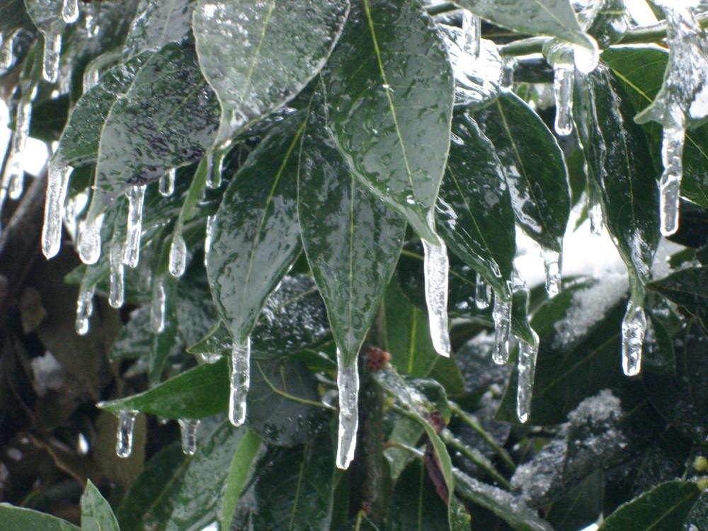 Eiszapfen an Loorbeerblatt