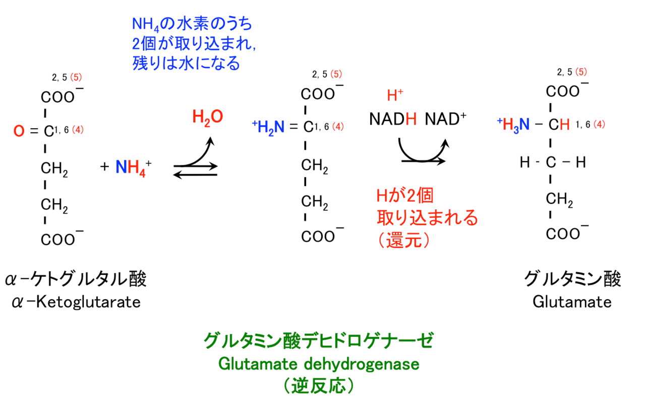 グルタミン酸, Glutamate, Gln, ...