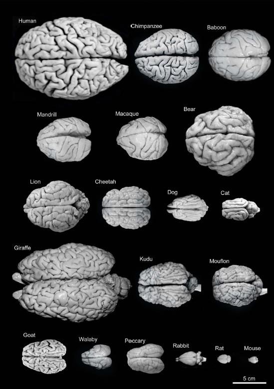 脳の大きさの種間比較