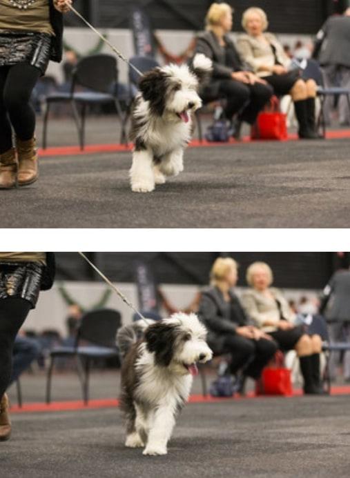 """Sari (Hairy Mou""""ed Break Dance) Beste Mini Pup."""