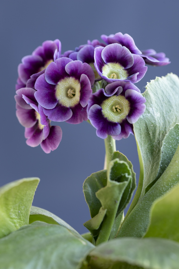 Primula auricula 'Blue Jay' @sibyllepietrek_photographin