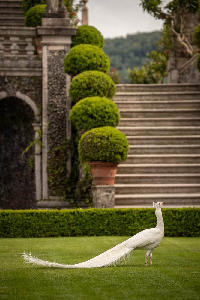 © Sibylle Pietrek 2019_Isola-Bella_Lago-Maggiore_Italien_Pfau-190512_412
