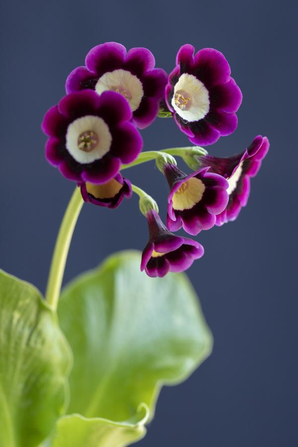 Primula auricula 'Pavarotti'@sibylle_pietrek_photographin