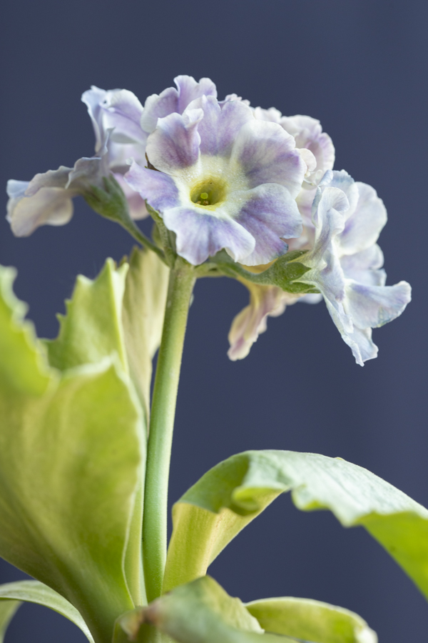 Primula auricula 'Grey Cloud', @sibylle_pietrek_photographin