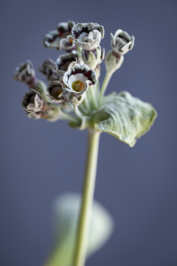 Primula auricula 'Greylag', @sibyllepietrek_photographin