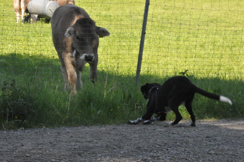 Warts ab du böse Kuh... :D :D Dich kriege ich schon klein... ;-)