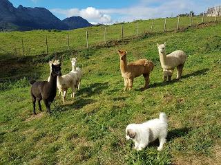 Nuestra PIKI integrandose en el rebaño de alpacas de debera proteger en un futuro