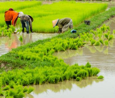 Reisbauern in Houaphan