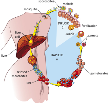 Malaria Übertragens Kreislauf.