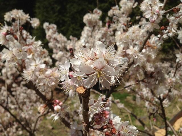 土助梅園 さくらんぼの花
