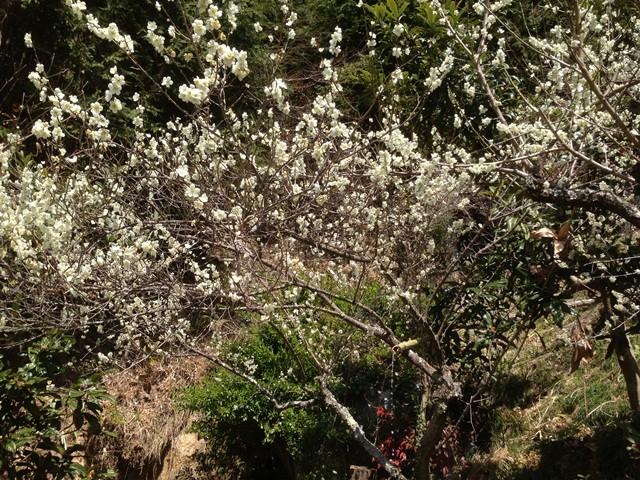 土助梅園 梅の花と水