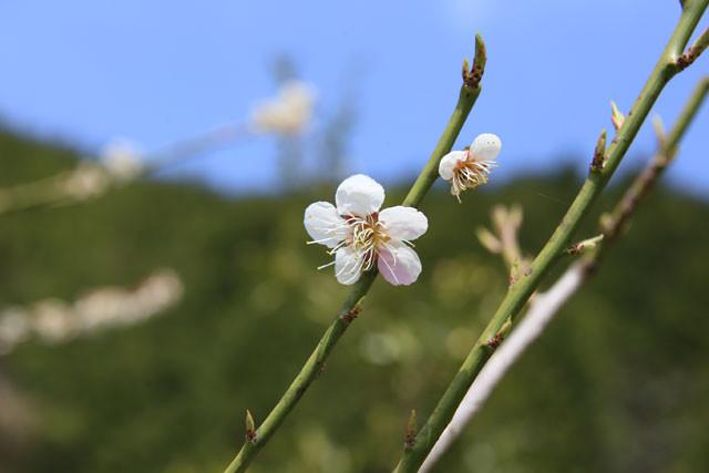 白い花びらの中に、赤い花びらが1枚