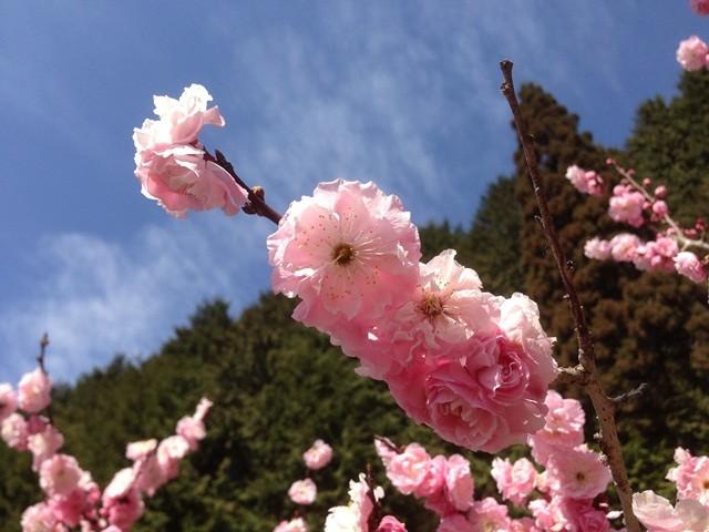 土助梅園 梅の花