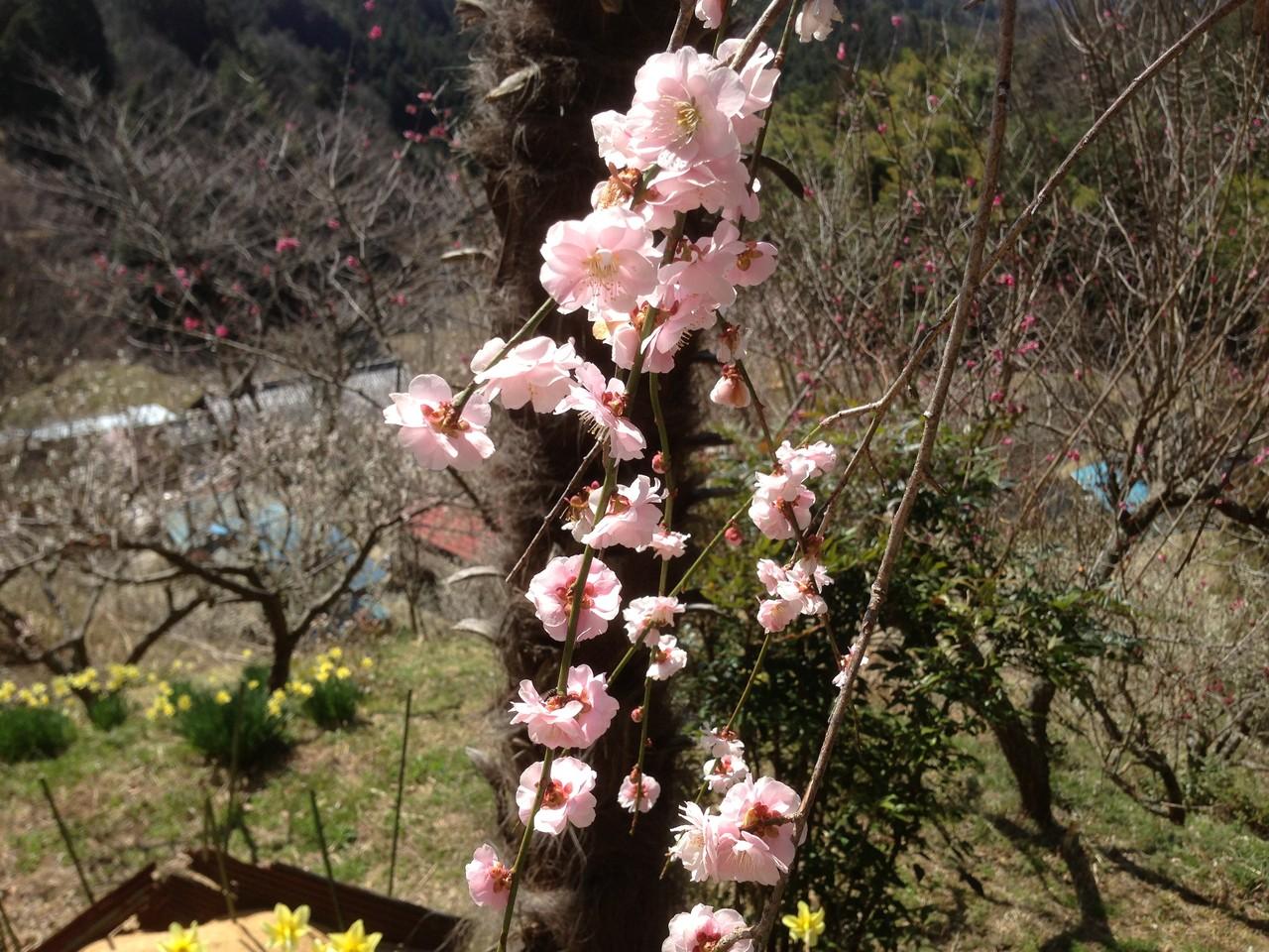 土助梅園 しだれ梅の花