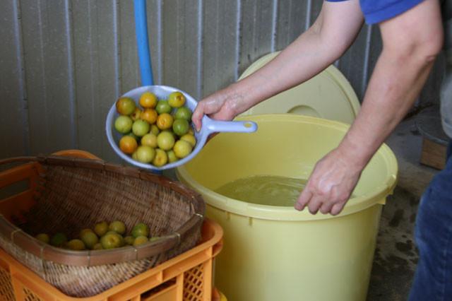 梅を水から取り出しざるにあげます。
