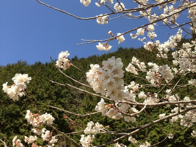 土助梅園 さくらんぼの花(ハート)