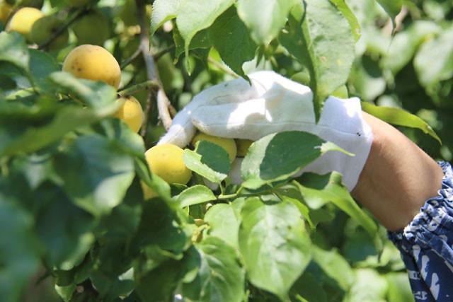 梅の実はひとつひとつ丁寧に手でもぎます。