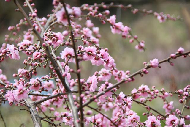 桃の花01