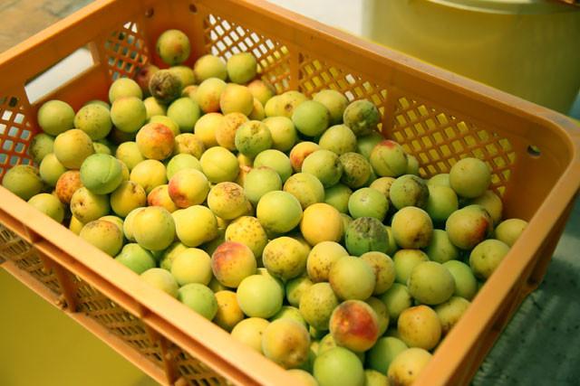 もいだ梅の実のへたをひとつひとつ丁寧に取りながらサイズ毎に分別し10Kgに分けます。