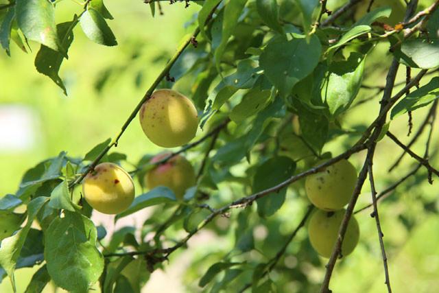 今年も土助梅園に沢山の梅の実がなりました。