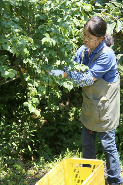 梅の実は黄色くなって木から落ちる寸前がもぎ時です。