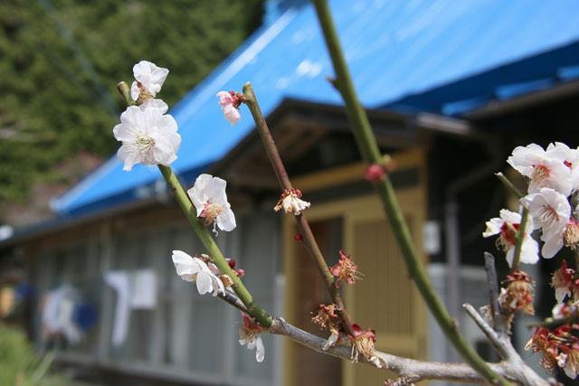 梅の花と民家