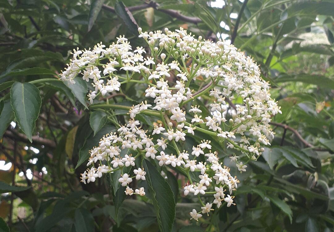 La fleur de sureau - Excellente pour toutes les maladies respiratoires (rhume, bronchite, grippe, etc).