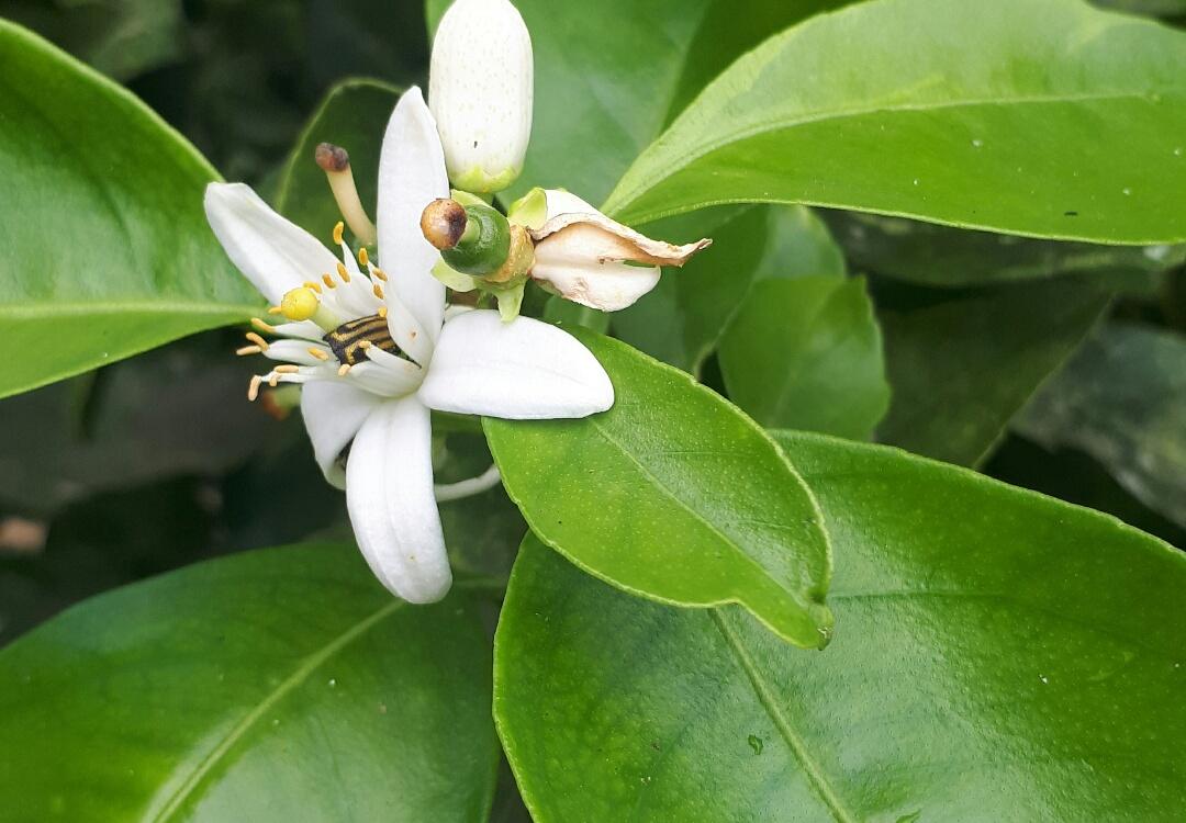 La fleur d'oranger - Excellente pour la peau et faculté anti-dépressive