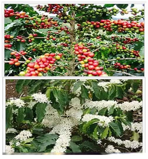 Chaque fleur donne un fruit qui contient un grain de café