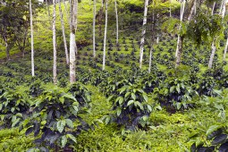 Caféiers en culture biologique ou traditionnelle (semi-ombre et sans produit chimique)