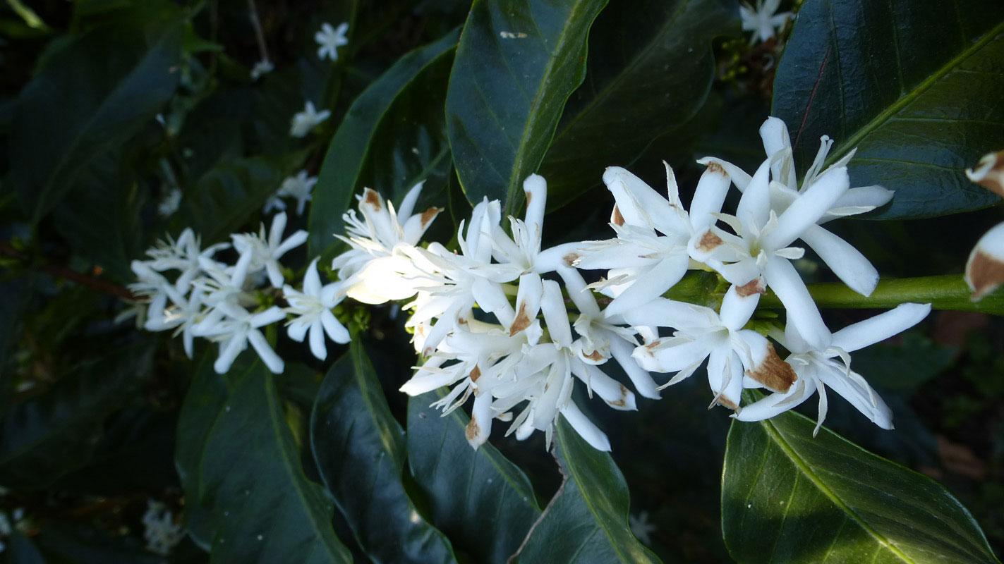 Fleurs de caféiers