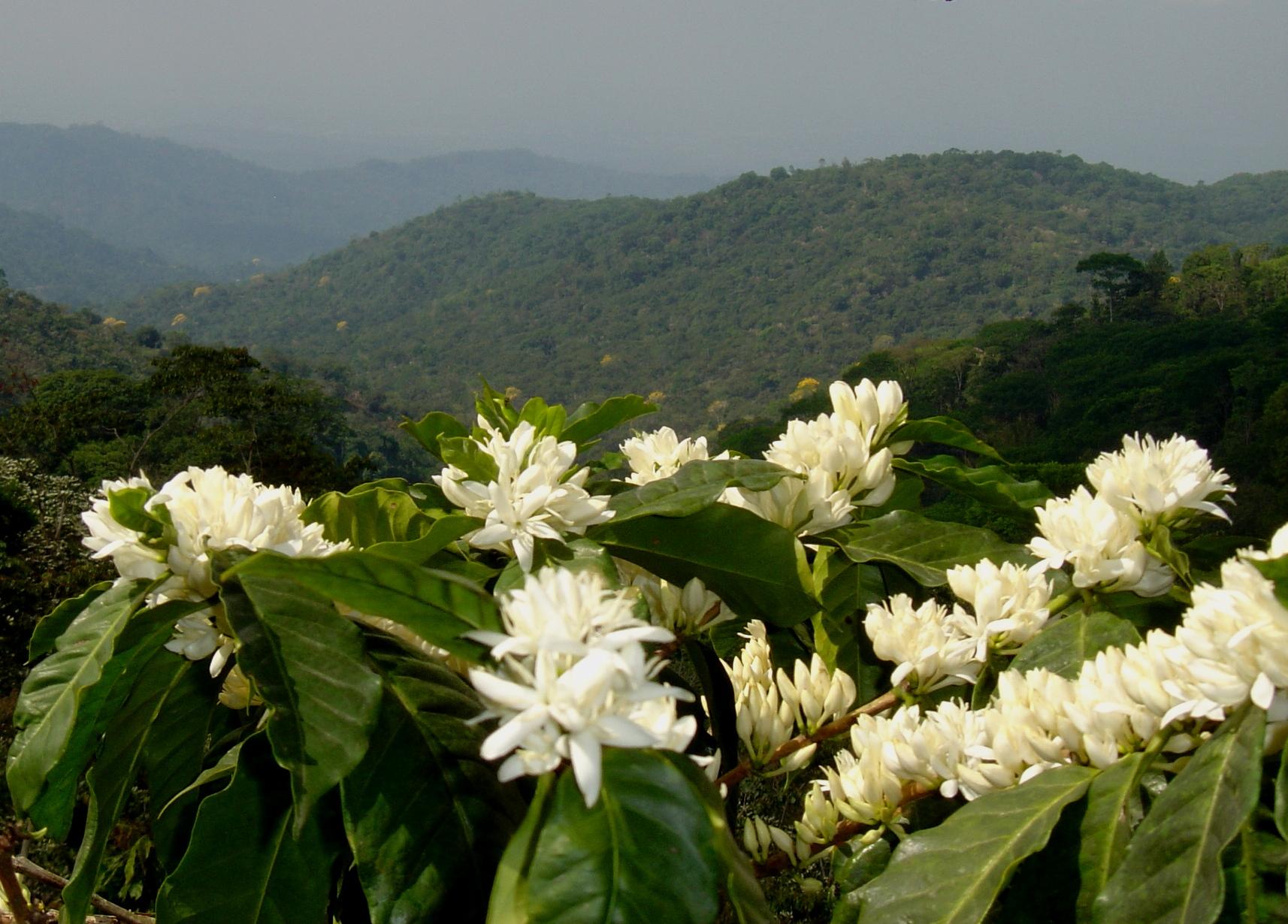 Fleurs de caféiers embaumant les vallées d'un d'un parfum doux et suave