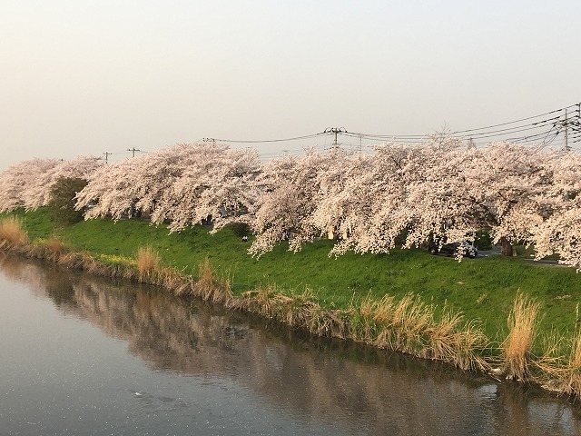 元荒川土手の見事な桜です!