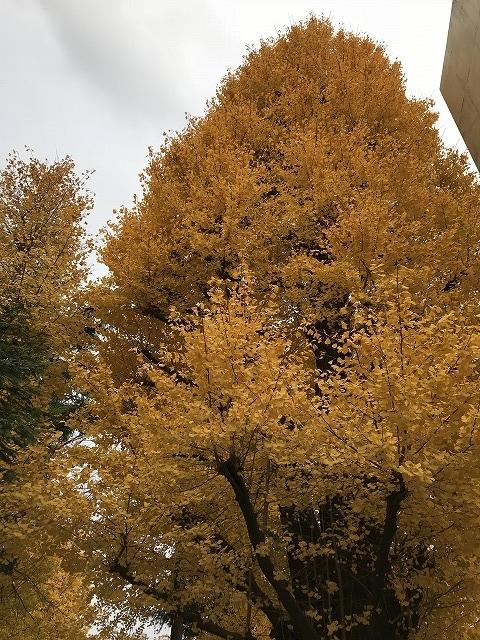 鳩森八幡神社の大銀杏