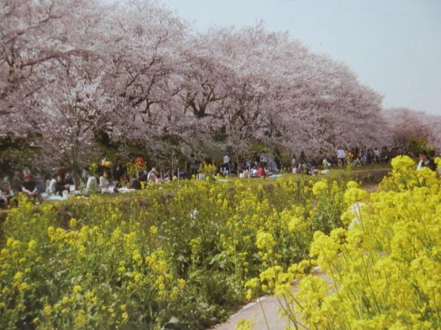 権現堂堤の桜(幸手市)