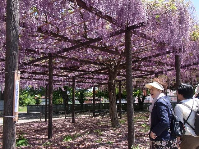 藤の花の絨毯