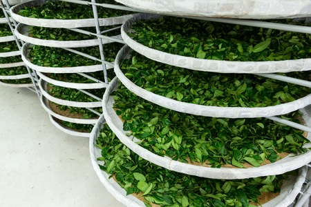 Bandejas de fermentación del Té.