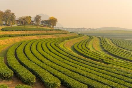 Cultivo de té. Cosechado con máquinas.