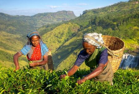 Cultivo de té montañoso. Recolectado de forma manual.