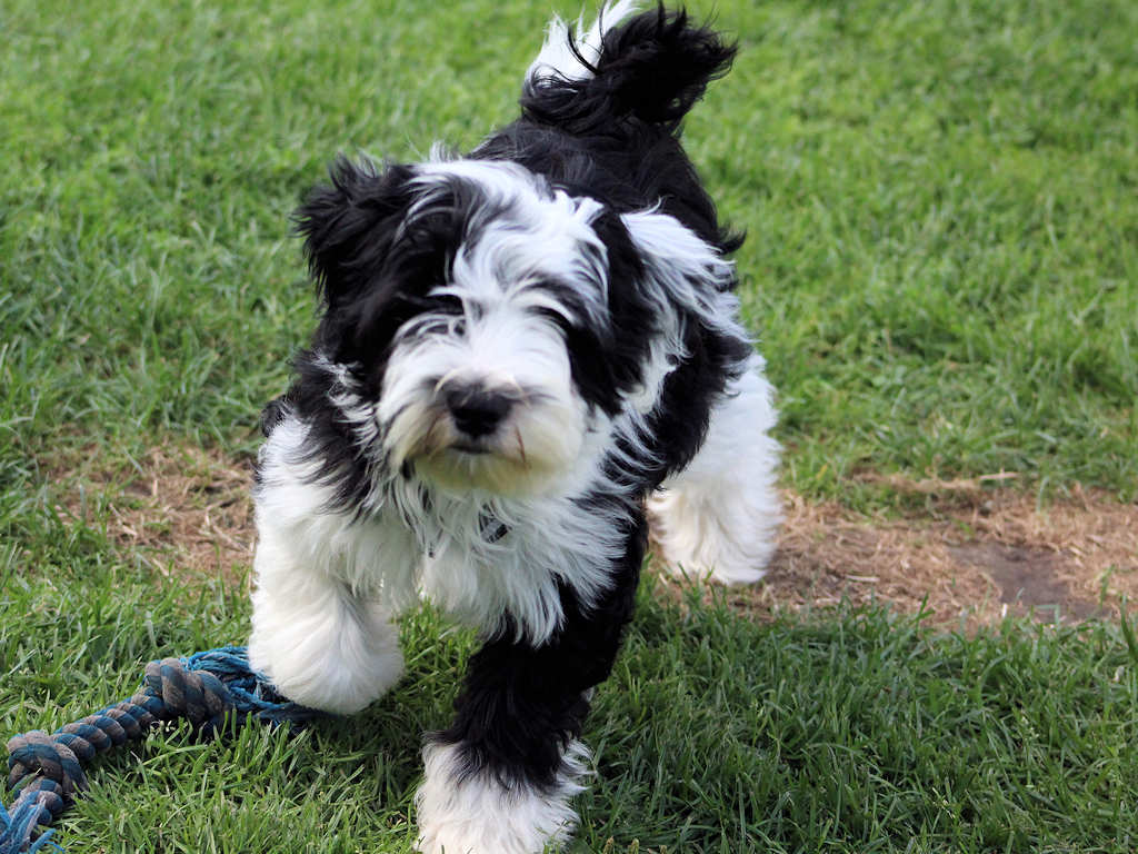 Tibet Terrier Welpen Wurfe Tibet Terrier Du Joyeux Berger