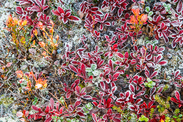 Bärentraube - Arctostaphylos alpinus