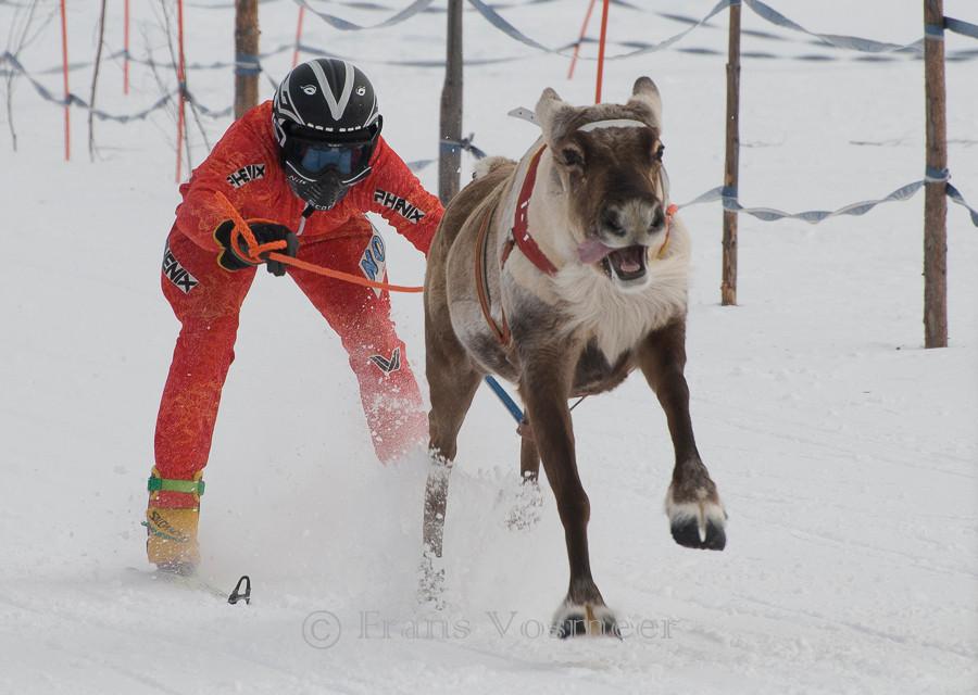 Rentierrennen in Hetta
