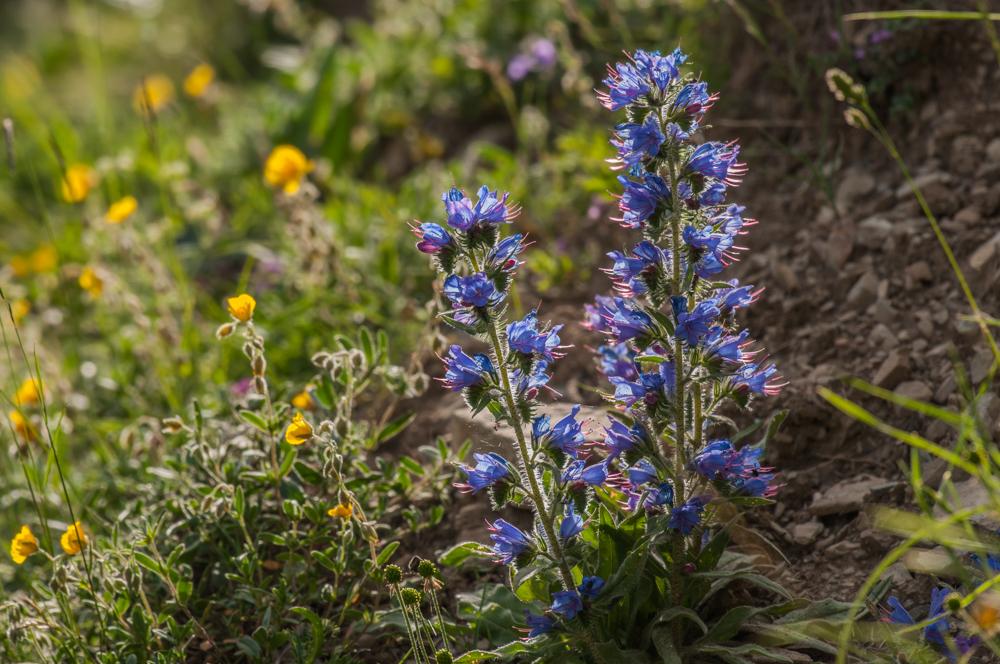Blaue Natternkopf - Echium vulgare