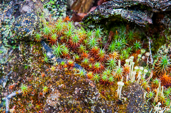 Urnentragendes Filzmützenmoos - Pogonatum urnigerum und Trompetenflechte - Cladonia fimbriata