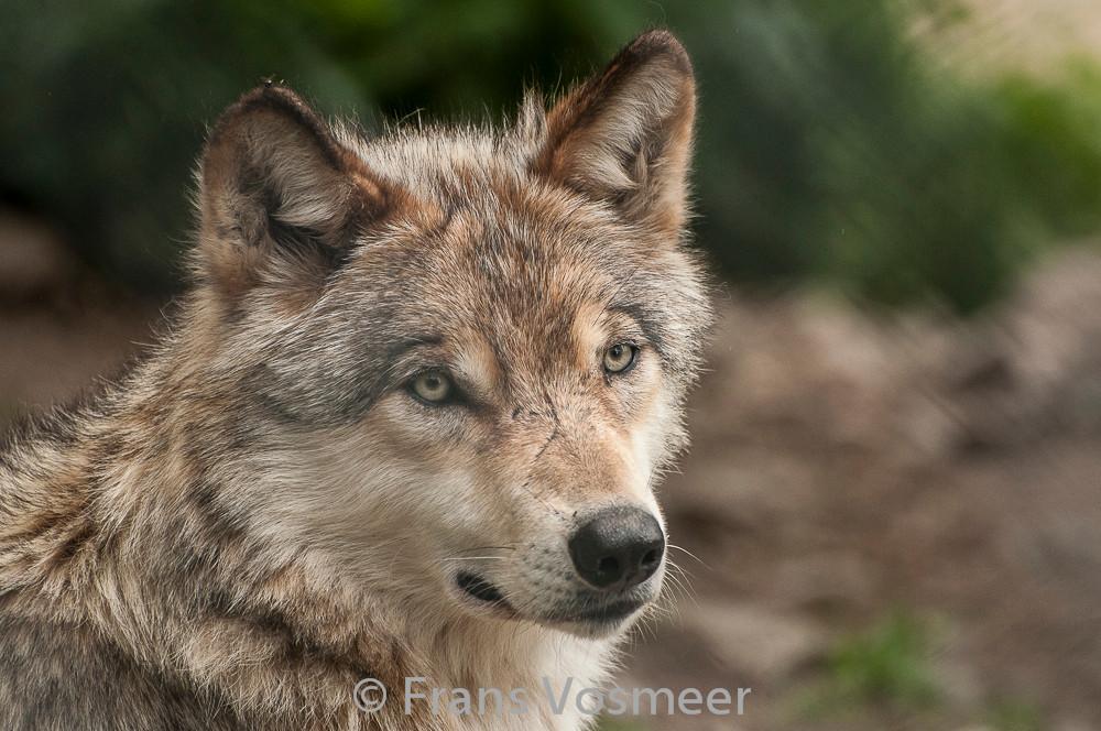 Mongolischer Wolf (Les loups du Gévaudan)