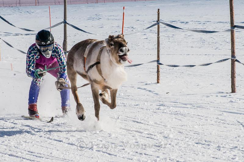 Rentierrennen am Mariäpaivä in Hetta