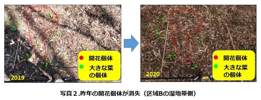 写真2.昨年の開花個体が消失
